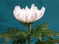「フローラル優香」品種登録番号11157号